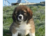 FCI Registered Caucasian Shepherd Pup/Puppies (not German shepherd, Turkish kangal)