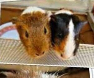 Guinea Pigs Auburn Auburn Area Preview