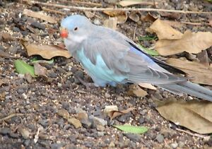 Lost Blue and Grey Princess Parrot High Wycombe Kalamunda Area Preview
