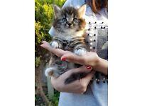 Lovely fluffy kittens - only girl left !