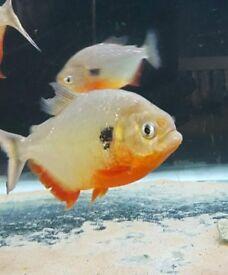 Pygocentrus Caribe Piranha