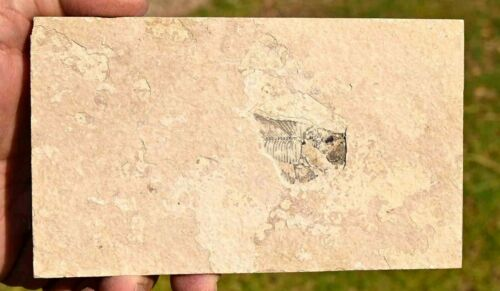 Unprepped Fossil Fish, Diplomystus dentatus, GRF, Wyoming, U.S.A. #3