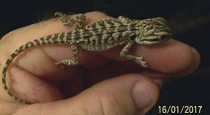 baby inland bearded dragon Parafield Gardens Salisbury Area Preview
