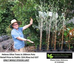 Olive Tree Helena Feature Tree Superb Quality Plant Mudgeeraba Gold Coast South Preview