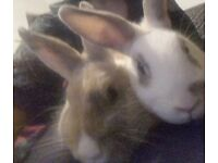 £55Nice two rabbits ginger with blue eyes