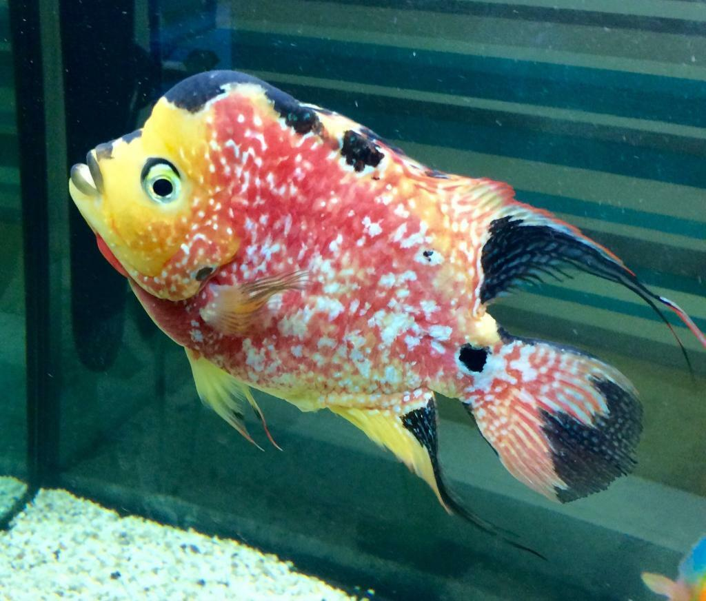 Female flowerhorn fish in wakefield west yorkshire for Flowerhorn fish for sale