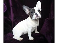 KC reg French Bulldog Blue Pied Girl 6mth old ('at 'carrier)