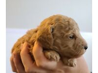 KC Reg Health Tested Miniature Poodles Puppies