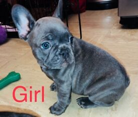 French bulldog puppys kc registered ready to leave now