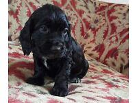 Adorable Black Cocker Spaniel Pups