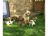 Border terrier x cavalier King Charles puppies