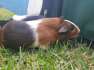 FEMALE Guinea Pigs Windsor Hawkesbury Area Preview