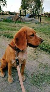 Lovely Spaniel Sunny looking for a new home - NOT AVAIL ANYMORE Ngunnawal Gungahlin Area Preview