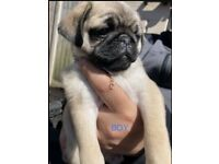OUTSTANDING QUALITY LINE PUG PUPS FOR SALE