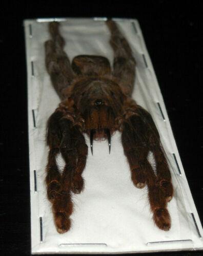 SELENCOSMIA JAVANENSIS JAVA EARTH TIGER TARANTULA REAL SPIDER TAXIDERMY