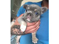 Lilac and tan French bull dog