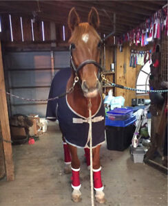 TB/Clyde Cross mare for lease!