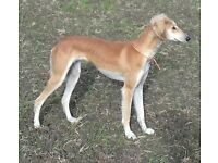 Bitch Saluki/greyhound 12 month old lurcher