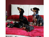 Stunning litter of 6 boy dachshund cross Jack Russell puppies