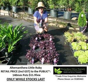 Need SMALL PLANTS that Grow to 1 Metre or Less? Look Here! HS103 Mudgeeraba Gold Coast South Preview