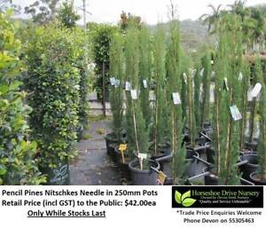 Pencil Pines Nitschkes Needle - Superb Feature Plant Privacy Hedging Mudgeeraba Gold Coast South Preview