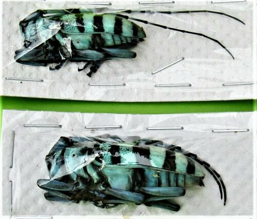 One Uncommon Long-horn Beetle Anoplophora longehisuta FAST FROM USA