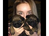 Border Terrier Pups For Sale