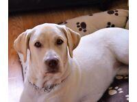 9 Month old Labrador puppy