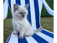 Blue eyes Ragdoll Kitten Ready!!