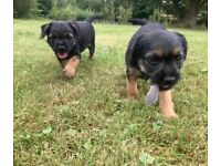 Male Border Terrier pups available