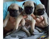 Chug puppies (3/4 pug 1/4 chihuahua)