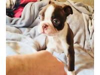 Beautiful Boston terrier puppies for sale ! Kc reg