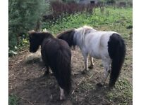 2 MINATURE SHETLAND COLTS REGISTERED WITH SPSBS WITH PASSPORTS