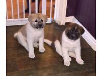 2 beautiful akita puppies 1 boy 1 girl