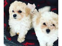 2 sister Maltipoo puppies for Sale