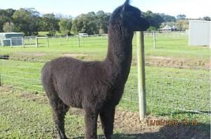 Alpacas for Sale - Intact Solid Black Male Cudgen Tweed Heads Area Preview