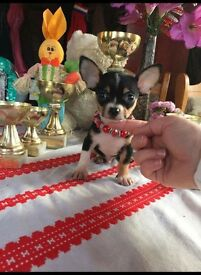 7 weeks old little chihuahu for sale