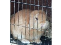 5 month old Mini Lop male for sale