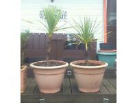 2 x Torbay Palm Tree, cordyline australis