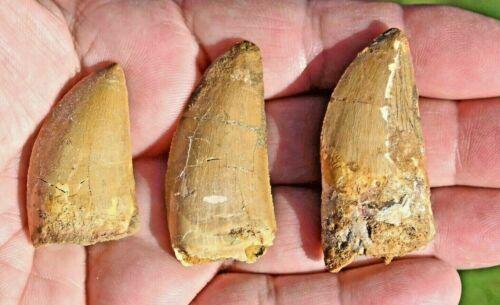 THREE Dinosaur Fossil Teeth, Carcharodontosaurus, from Morocco