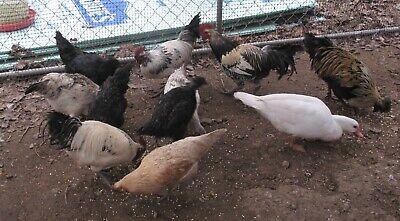 Rare Breed 24 Fibro Hmong Qaib Hmoob Hatching Eggs Game Fowl Egg Layers