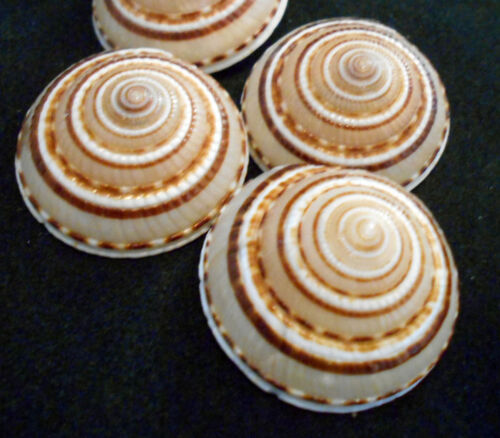 "6 Large Sundial Shells (Architectonia Perspectiva) 1.5-2"" Ocean Art Crafts Beach"