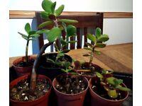 small money / jade plants ( crassula ovata )