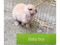 1 male Mini lop/rex rabbit