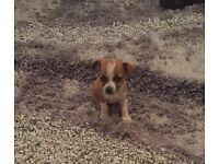 Miniature Chihuahua x miniature Jack Russell