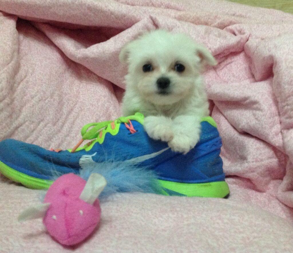 Fabulous cute tiny Maltese x chihuahua petite puppies boy girl