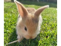 Giant continental cross Netherlands dwarf baby rabbits.