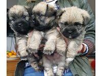 Puppies. CareTzu. (Cairn X Shih-Tzu)