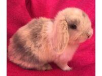 Mini lop harlequin baby female rabbit