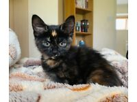 Beautiful black girl kitten